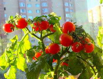 Домашняя мини ферма помидоров