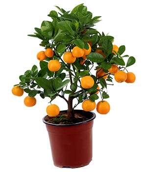 Апельсиновое мини дерево Экодар