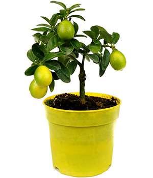 Лимонное гибридное мини дерево Экодар