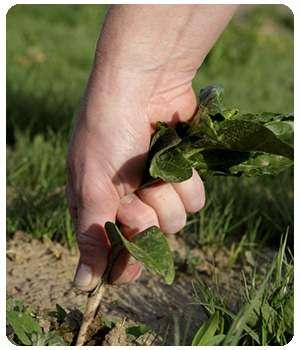 garden pest борется с сорняками