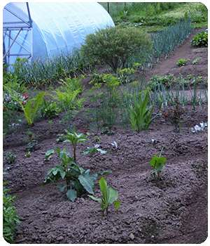 На огороде применяли средство Биограунд