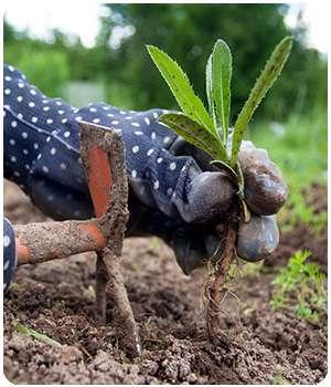 Огород, не обработанный биогербицидом Гардекс
