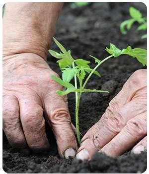 Огород, обработанный Гардексом от сорняков