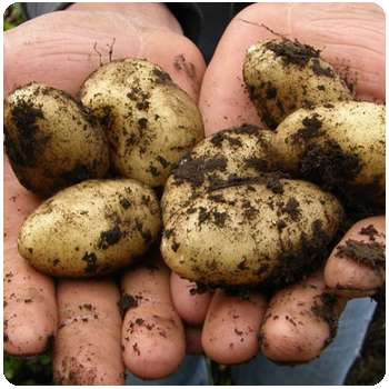 Картофель до применения удобрения Гардемакс.