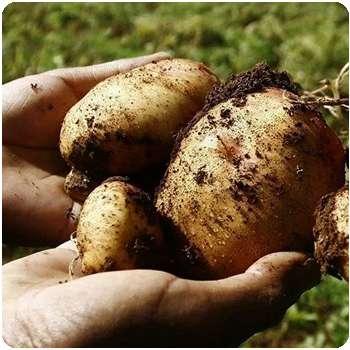 Благодаря удобрению Гардемакс клубни картофеля увеличились в размере.