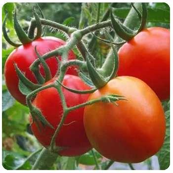Благодаря удобрению Агрохелп плоды выздоровели.