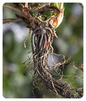 Благодаря средству Агрохелс корневая система укрепилась.