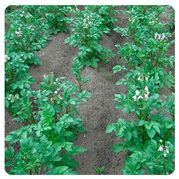Благодаря удобрению Грундор сорняки на грядках погибли.