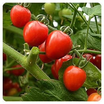 Благодаря средству Корнефит и Гардефит урожай улучшился.